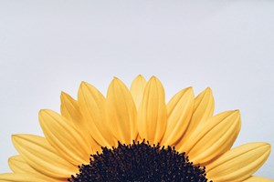 False_Sunflowers_or_Sunflowers